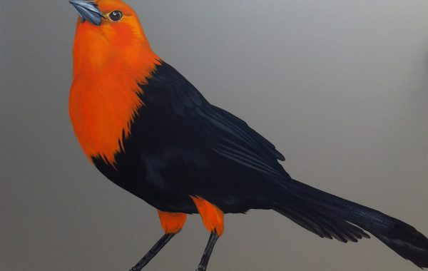 Scarlet Headed Blackbird 36×48