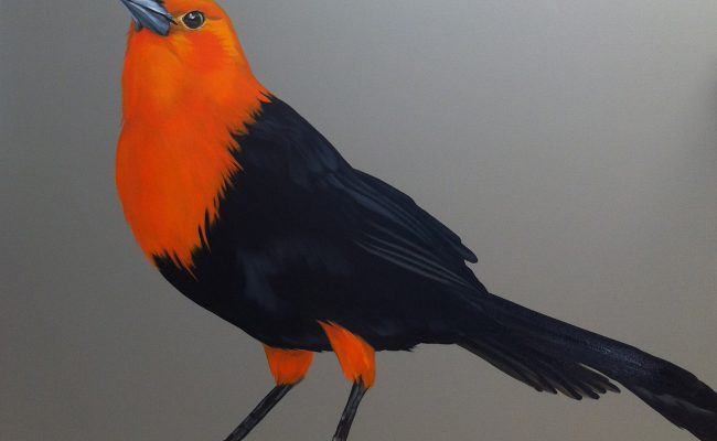 Melissa Del Pinto – Scarlet headed Blackbird 36×48